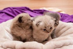 kitten-blanket-web