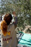 EAPPI also joined olive farmers in Far'ata, in the district of Qalqilya. Photo EAPPI/A. Aguilar.