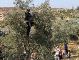 On this day, the olive harvest continued without incidents of settler harassment as has happened in the past. Photo EAPPI/J. Kaprio.