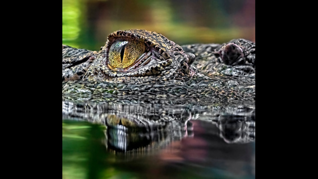 Woman Trying To Take A Selfie With A Crocodile Gets Bitten By The Reptile Instead