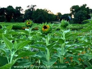 Sunflowers on the Verge