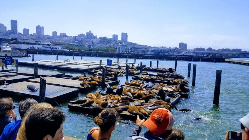 Seals at Pier 39 San Fransisco