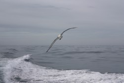 Albatross playing in our wake