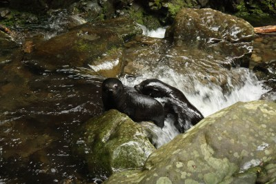 Baby fur seals playing in the rapids