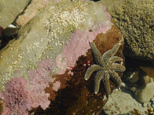A sea star in the intertidal at Kaikoura
