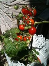 6) gefreut... über die ersten roten Tomaten in unserer Obhut seit Jahren...