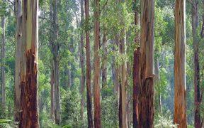 Eco-Friendly Eucalyptus Wood