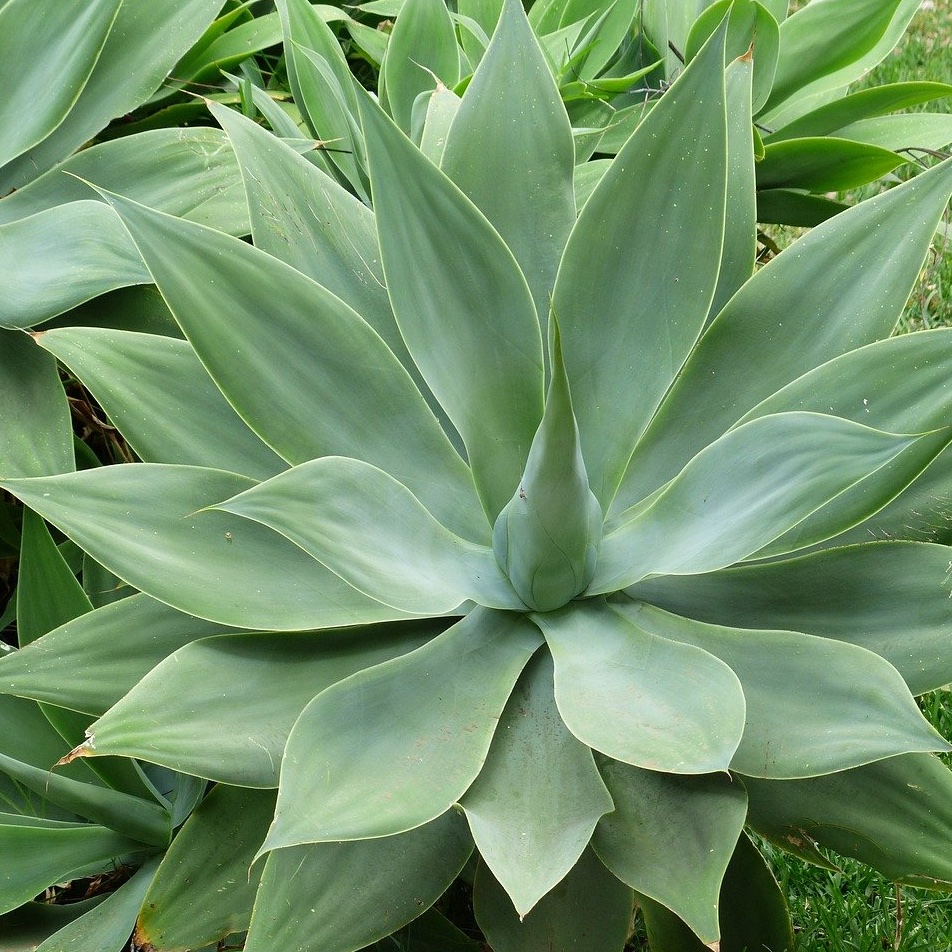 Perfect Plants for Poolside Landscaping with foxtail agave