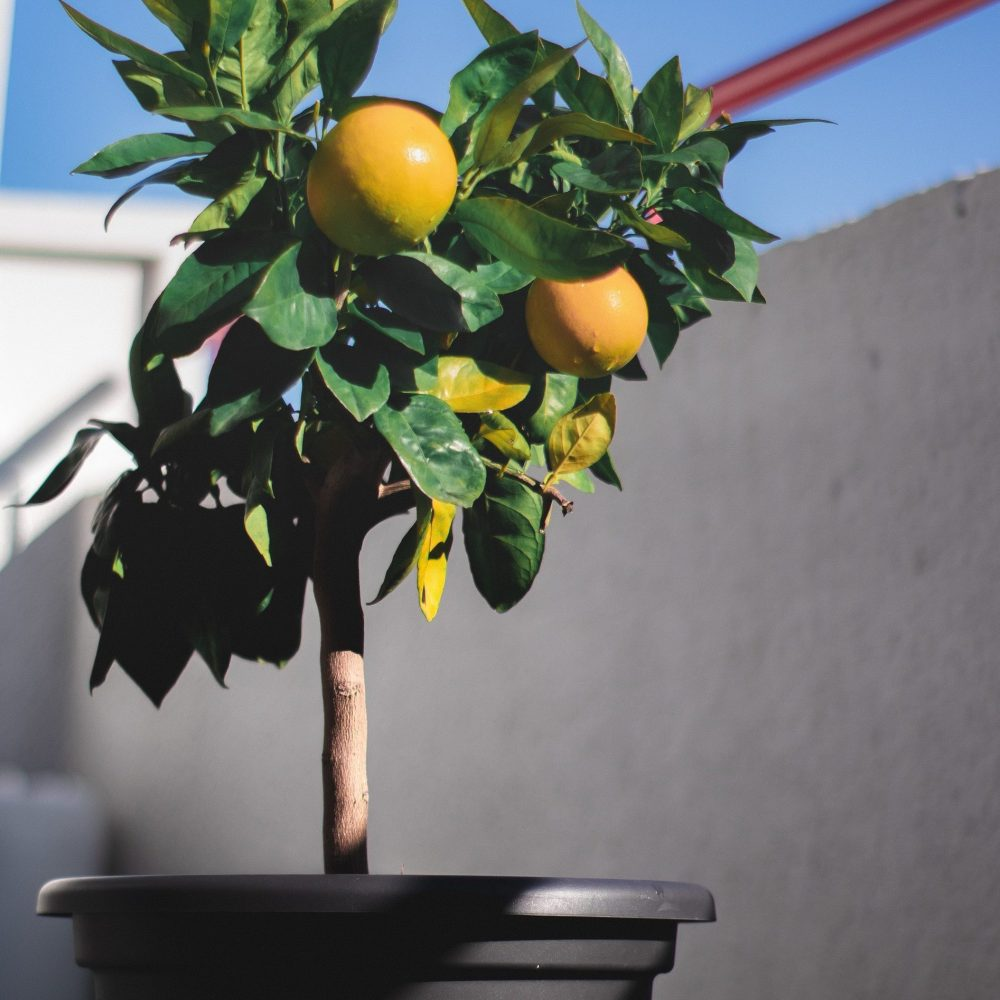Failproof Potted Fruits & Vegetables lemon tree