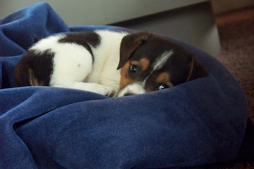 small puppy snuggled on blue blanket