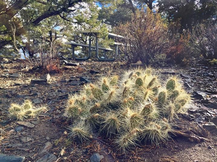 Mahogany Flat Cactus