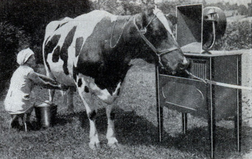 A cow enjoys listening to Smooooth Radio