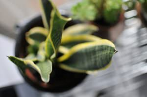 Mother-in-Law's Tongue (S. trifasciata laurentii) is one of the best plants for indoor air quality