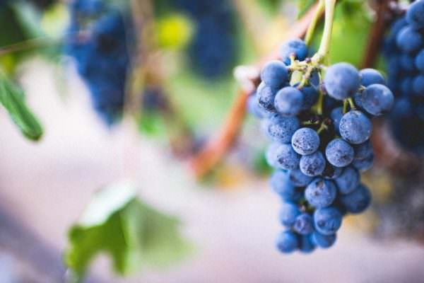 bunch of wine grapes on vine