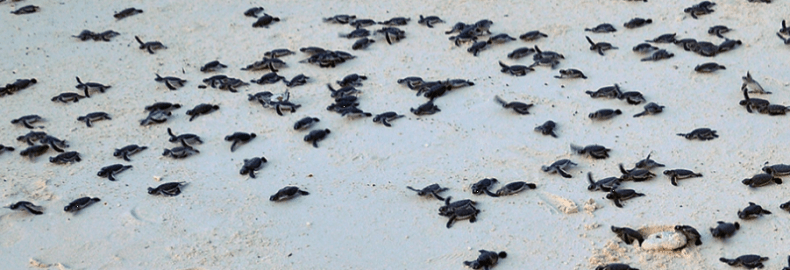 sea turtle hatchlings swarming towards ocean