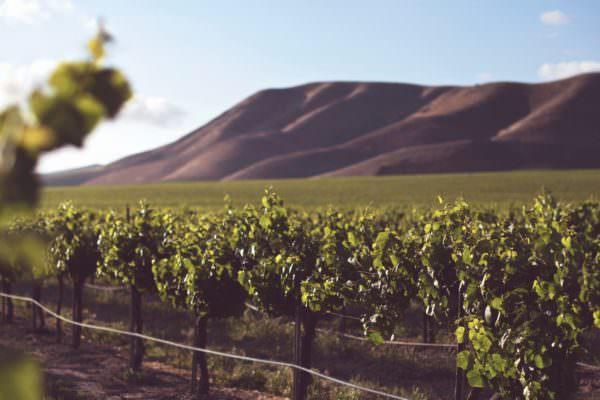 wine grapes growing on vine
