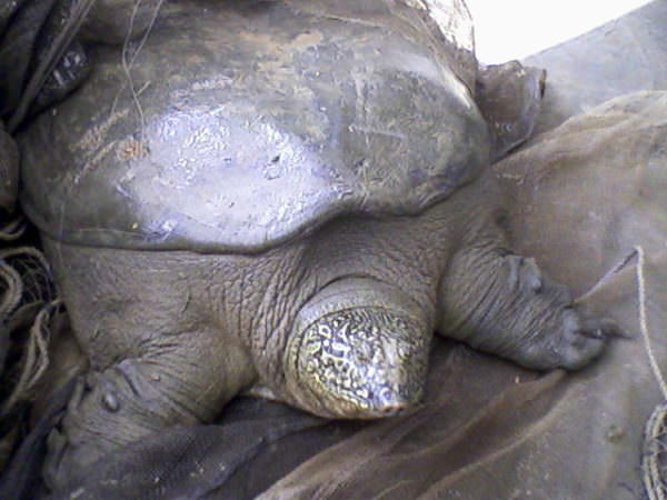 critically endangered Yangtze giant softshell turtle