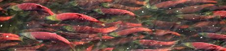 sockeye salmon swimming