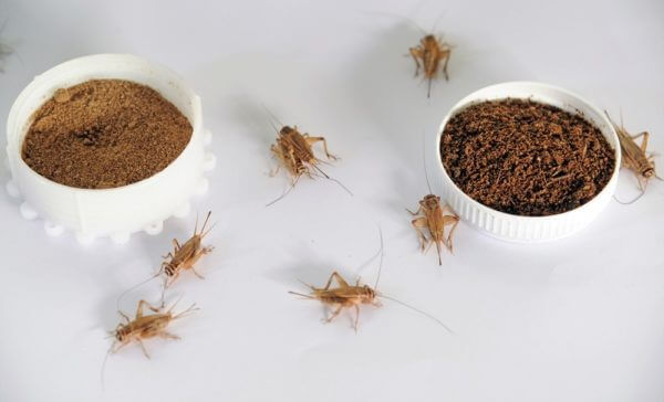 crickets and ground cricket protein