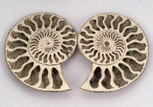 Pyritized ammonites