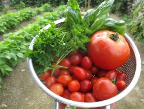 Tomato and herb harvest