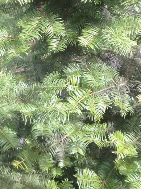"Douglas fir with ""bottlebrush"" needles"