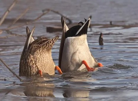 A pair of Mallards feed side by side in Anchorage