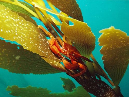 kelp-crab_256_600x450
