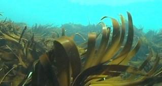 sea-kelp-620x330