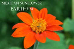 mexicansunflower-webbook