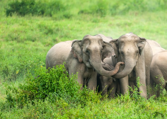 A herd of Asian Elephants are protectively a newborn elephant calf in the plain of Kui Buri National Park, Prachuap Khiri Khan, Thailand. Photo credit: Tanes Ngamsom / iStock