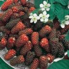 http://www.starkbros.com/products/fruit-trees/mulberry-trees/illinois-everbearing-mulberry