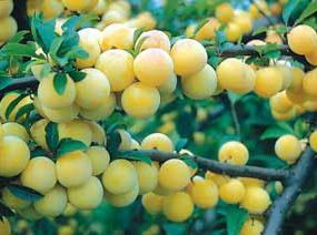 http://www.starkbros.com/products/fruit-trees/plum-trees/shiro-plum