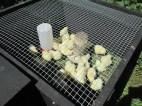 Chicks enjoying the warm sunshine