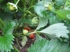 Blushing strawberries