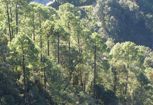 A photo of pine trees on a steep mountain side in the Himalayas, the sun shining through them.