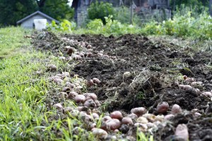 soil in a garden bed, turned up with scores of potatoes unearthed on the side, a small garden shed in the distance