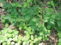 Nettles, Jewelweed, and Cleavers