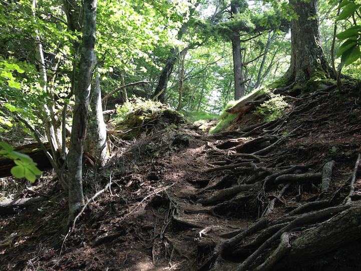 walking on bare roots in many spots