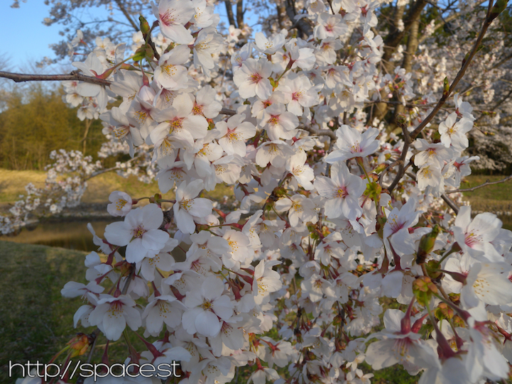 full blossoms on some cherry trees at the parkApril 11, 2014