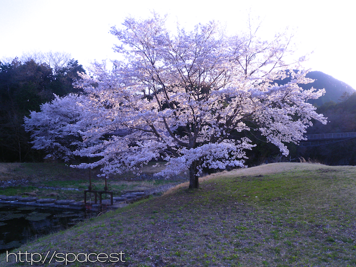 Cherry Tree full of blossoms at sunset April 11, 2014