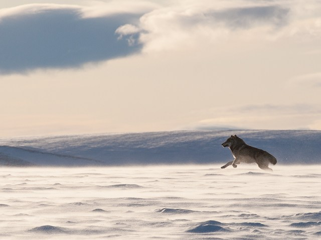 An Alaskan tundra wolf leaps through the blowing snow in the Arctic National Wildlife Refuge.