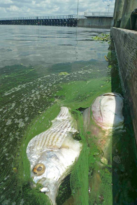 Dead Mojarra/Sand Bream and Jack, west of Franklin Lock, June 13, 2011.  Photo by Sanibel-Captiva Conservation Foundation.