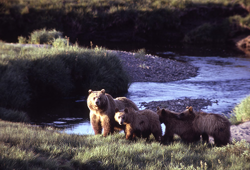Grizzly bears in Yellowstone. (NPS)
