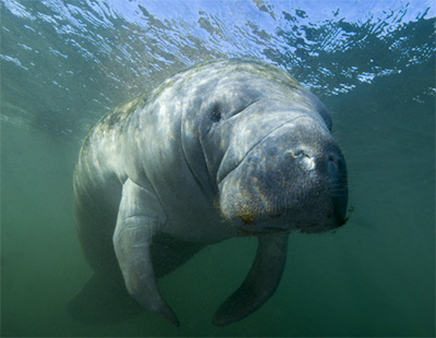 Manatee. (Liquid Productions LLC)