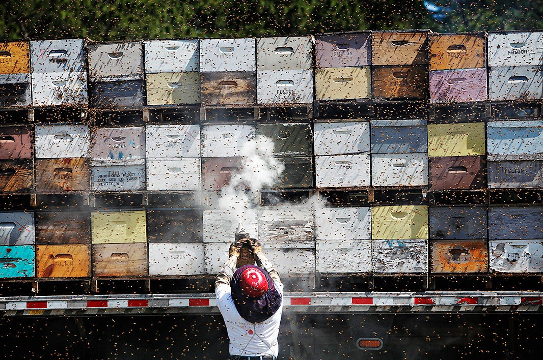 A beekeeper pumps smoke around the hives which have been loaded onto a truck for transport.