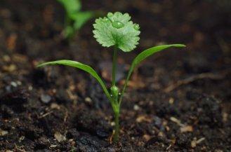 growing-cilantro