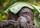 Orangutans just became the only non-human primates we know of who can talk about the past