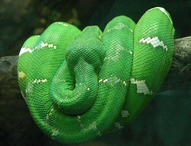 The Emerald Tree Boa