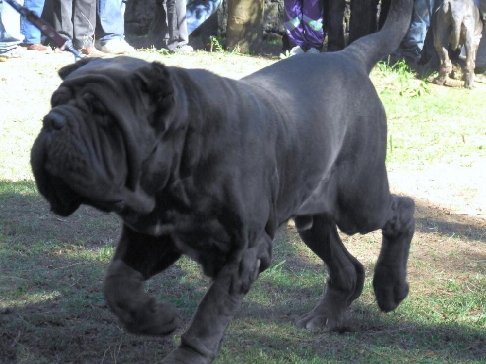 biggest dog breeds